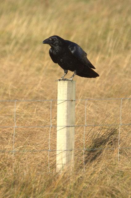 Northern Raven (Corvus corax), Norwick
