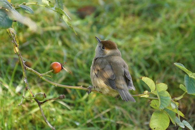 Female Blackcap (Sylvia atricapilla), Norwick