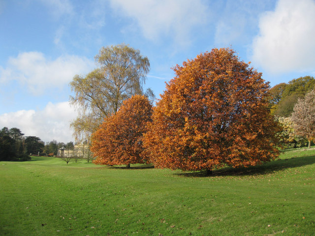 Beech trees in autumn glory