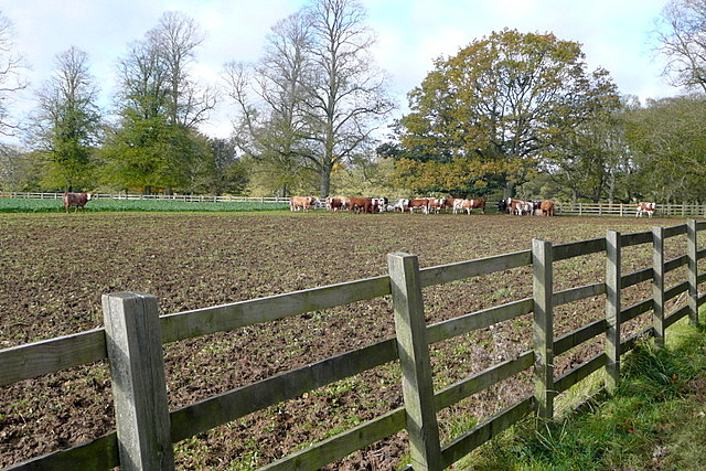 Cattle at Ditchley Park