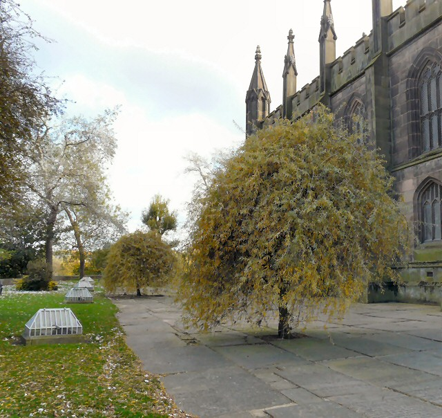 Weeping Silver Pears in St Mary's Churchyard