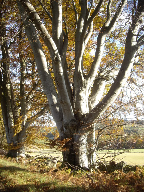 Mature beech trees on the Learney Estate