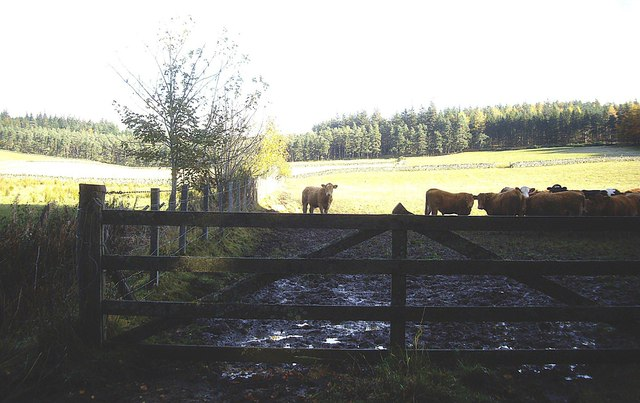 Cattle in a field by Netherlands