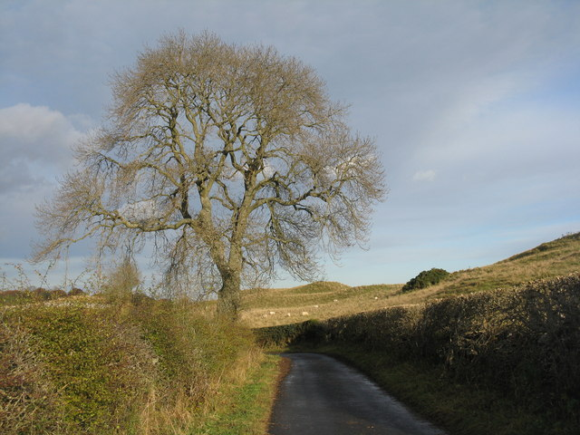 Roadside ash near Midlem