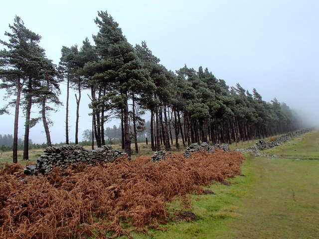 Wall and line of pine trees