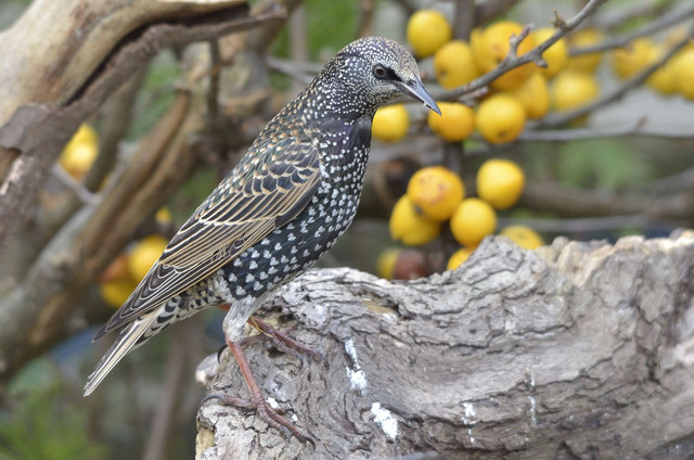 Starling and Crab Apples