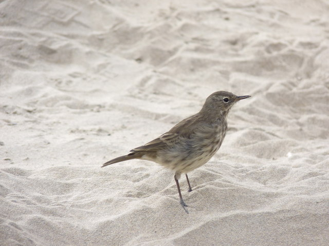 Rock Pipit (Anthus spinoletta)