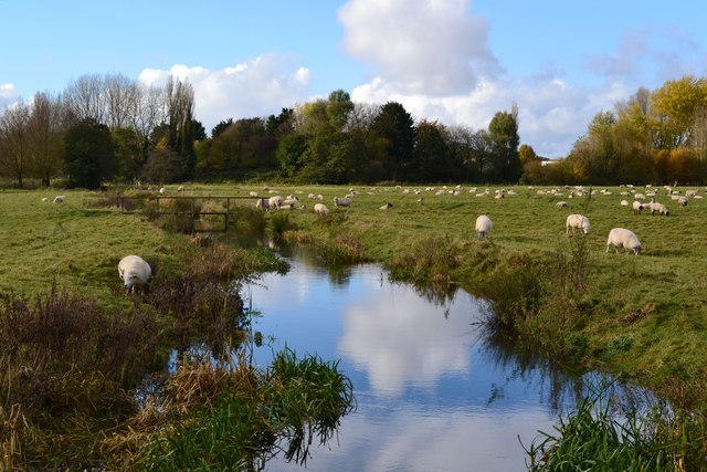 Sheep grazing on Harnham Water Meadows
