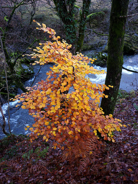 A small beech above the Lune