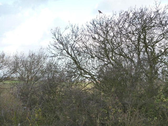 Tree-top kestrel at Hemsworth Gate