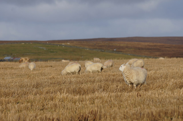 Sheep in stubble, Clivocast