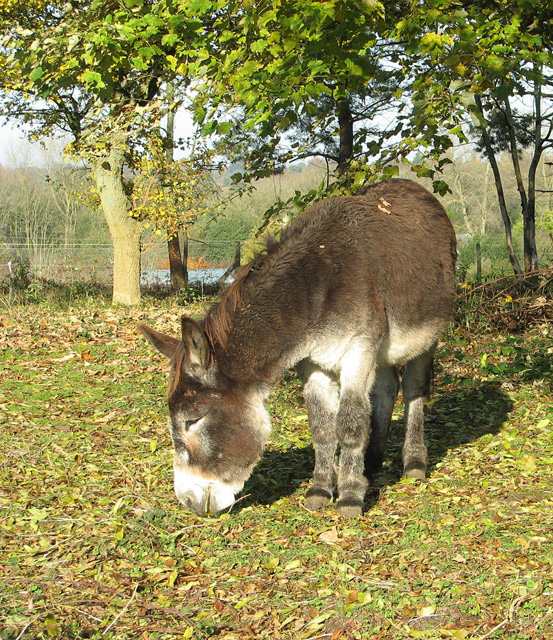 Donkey foraging in woodland pasture, Keswick