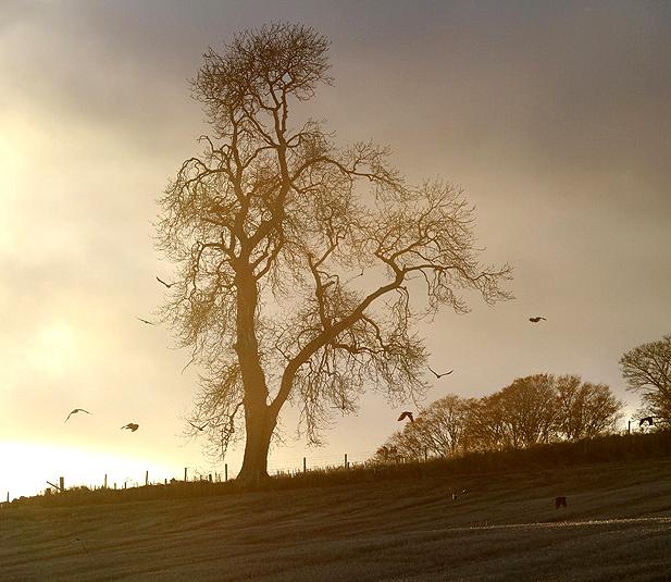 An ash tree at Duns Law