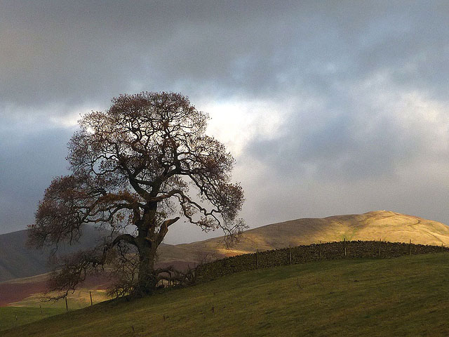 A large oak tree above the Lune