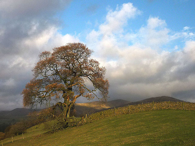 A large oak tree above the Lune (2)