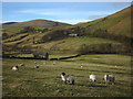 SD7299 : Sheep grazing at Fell End : Week 46