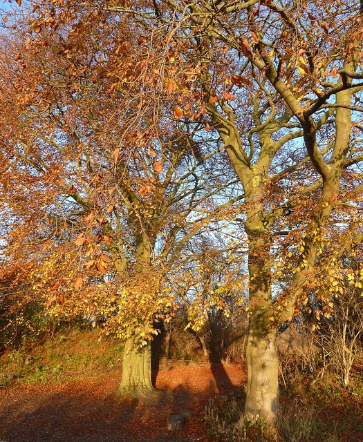 Autumnal beeches