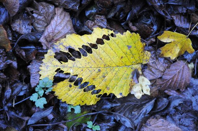 A leaf devil