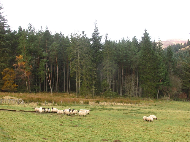Sheep, Stobohope