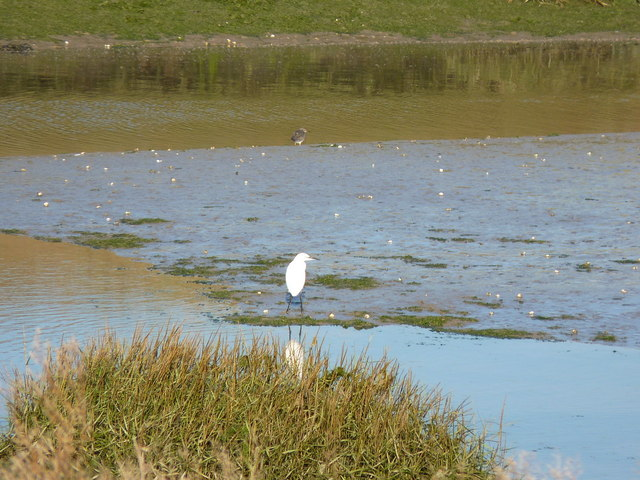 Little Egret on Home Reach