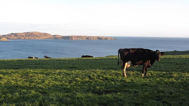Cows, Coledrain