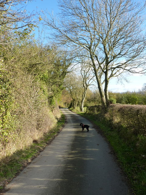 Ash trees on the lane towards Rhos Farm