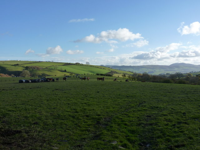 Beef cattle in a field south of Rhos Farm