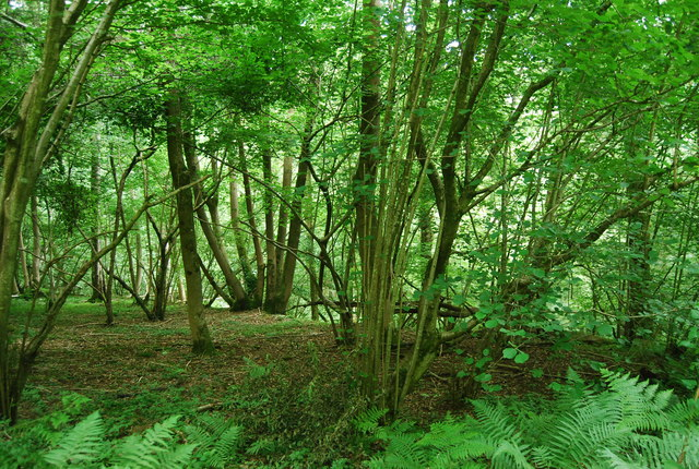 Coppicing, Coleman's Copse