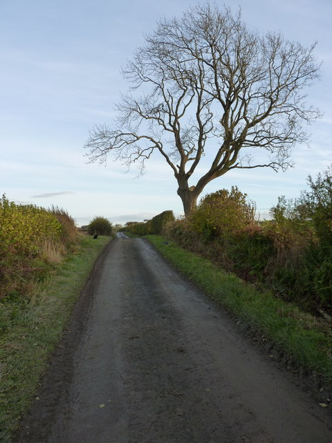 Ash tree on the lane east of Forest Farm