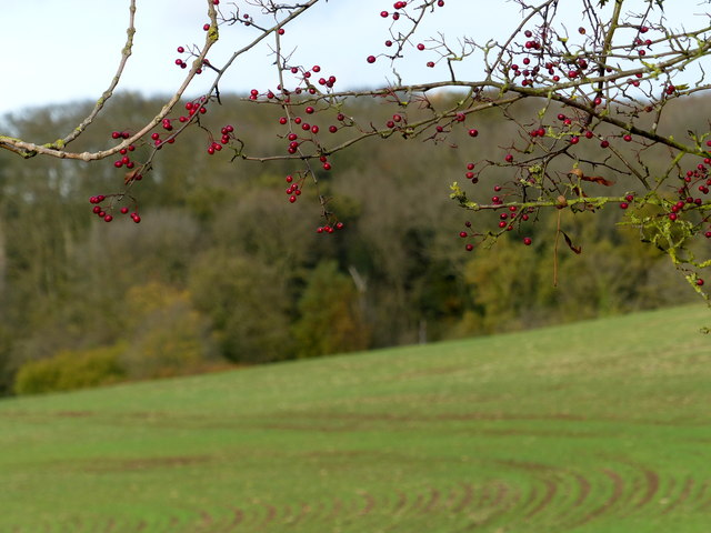 Autumn berries along Houghton Lane
