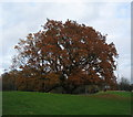 SP3178 : Oak,  Hearsall Common by E Gammie