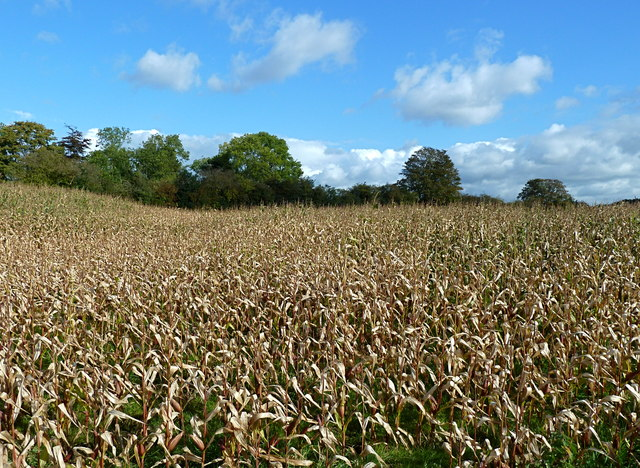 Field of maize near Saltersford Hall, Cheshire