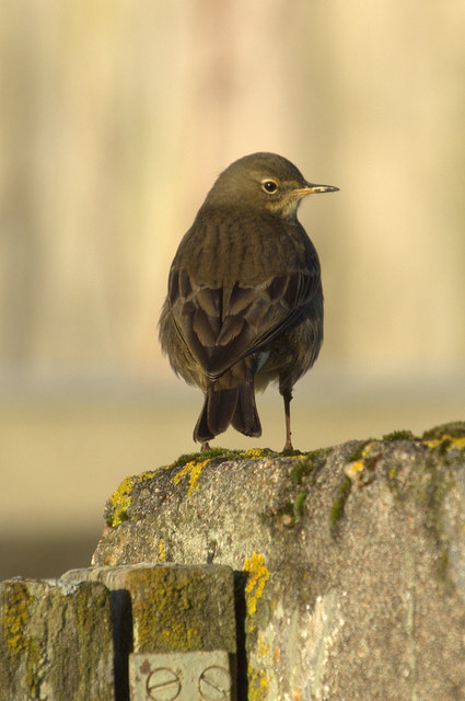 Rock Pipit (Anthus petrosus), Skaw