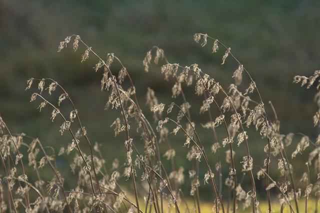 Dead nettles, Skaw