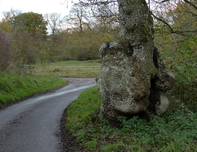 Knobbly tree along Ingarsby Lane