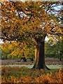 TQ2172 : Oak tree in November, east of Spankers Hill Wood, Richmond Park by Stefan Czapski