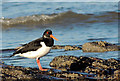 J4079 : Oystercatchers, Holywood (3) by Albert Bridge