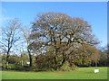SP3176 : Oak by Tutbury Avenue by E Gammie