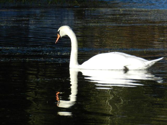 Mute Swan, River Lathkill