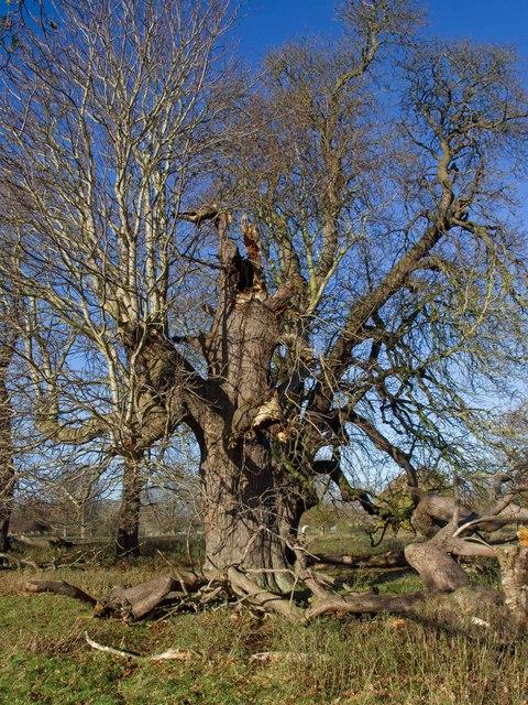 Treebeard?