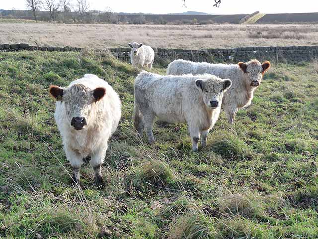 Cattle at Fenwick Shield