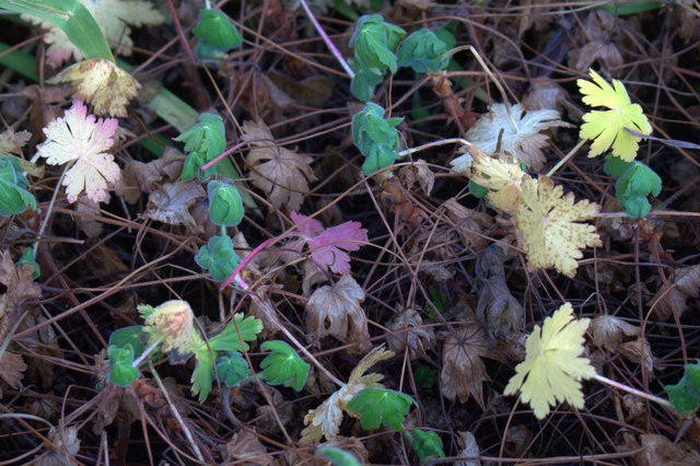 Geranium leaves, Baltasound