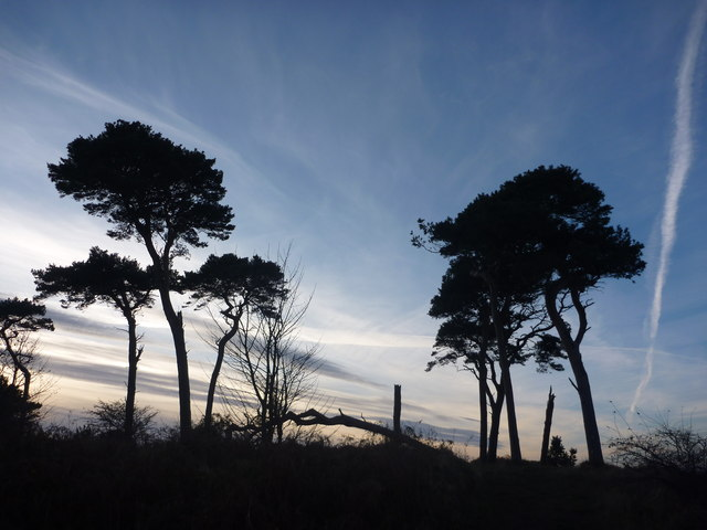 East Lothian Landscape : Pines at Hedderwick Point