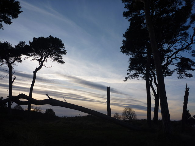 Coastal East Lothian : Damaged Pines At Hedderwick Point