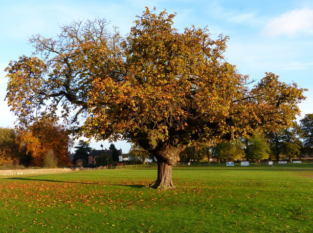 Tree at the cricket ground in Barkby