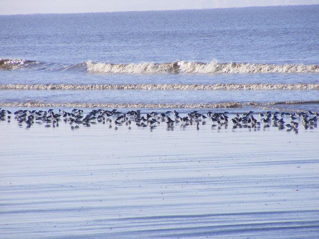 Tide Line Birds