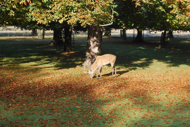 Deer, Bushy Park