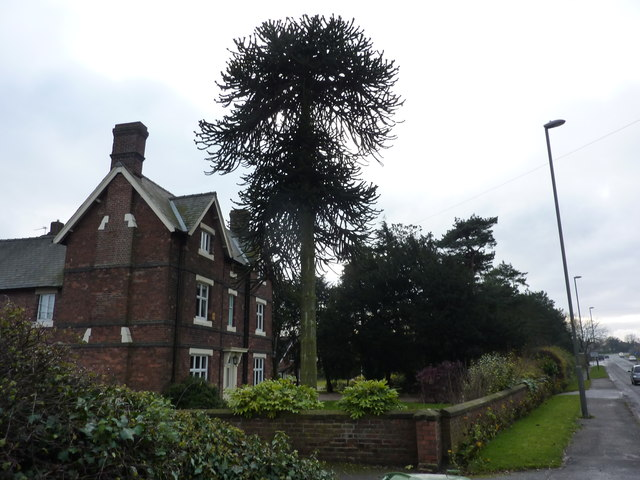 Imposing house with imposing Araucaria tree