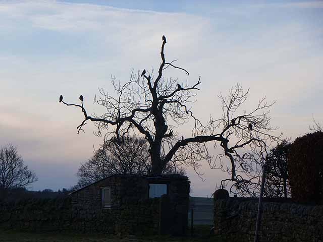 Crows congregating at dusk