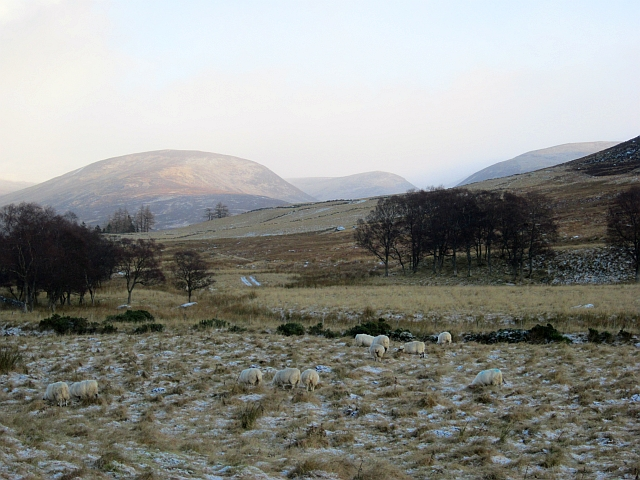 Sheep in Glen Isla